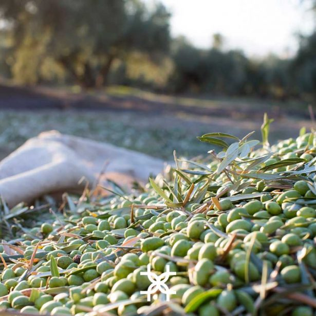 What are the characteristics of 100% picual olive oil?