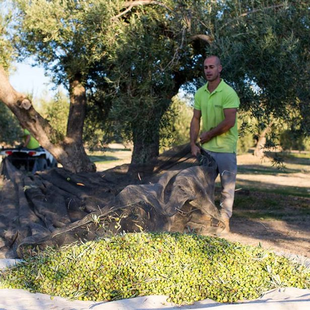 Aceite de Jaén: historia, características y tradición