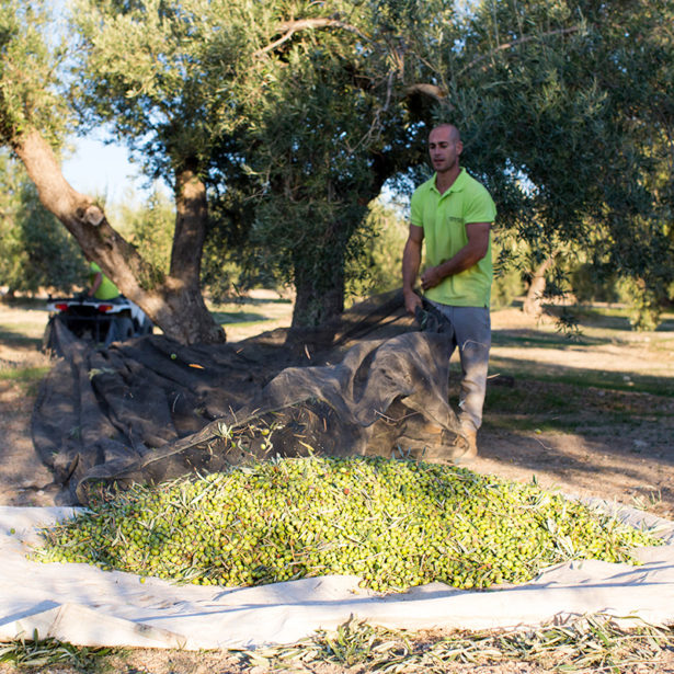 Olive oil from Jaén: history, characteristics, and tradition