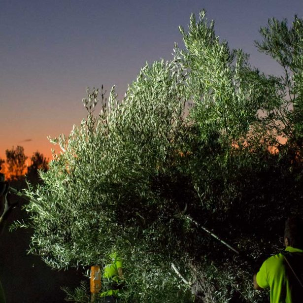 Why do we collect our olives at night?