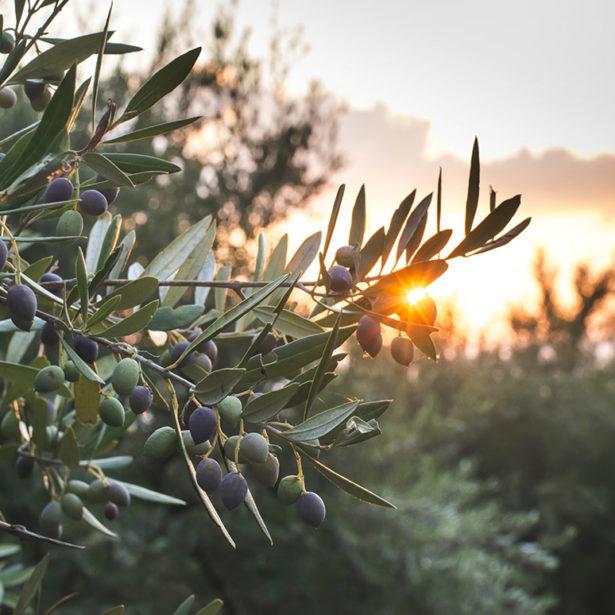¿Qué variedades de aceite de oliva existen?