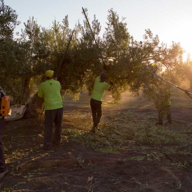 Gourmet olive oil: how it differs from other oils